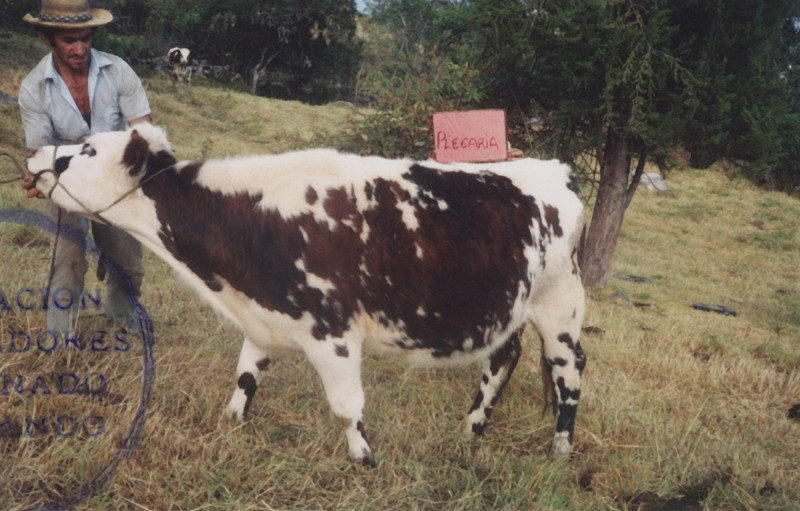 Anonymous, Prize Cow Competition, Colombia, 1980s.
